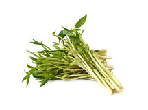 Chlorophylla green bean sprouts on white Royalty Free Stock Image