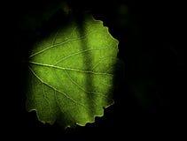 Chlorophylle photo libre de droits