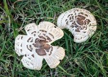 Chlorophyllum brunneum or Chlorophyllum molybdites Royalty Free Stock Photo