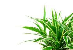 Chlorophytum植物 免版税库存图片