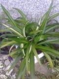 Chlorophytum Obraz Stock