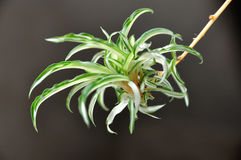 Chlorophytum. New growth branch Royalty Free Stock Images