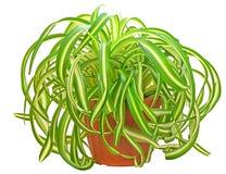 Chlorophytum Foto de archivo libre de regalías