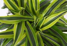 Chlorophytum Photo libre de droits