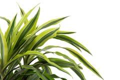 Chlorophytum Стоковое фото RF