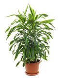 Chlorophytum Royaltyfri Bild