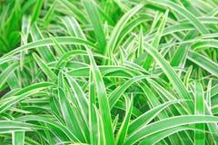 Chlorophytum Royalty Free Stock Image