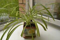 Chlorophytum Royalty-vrije Stock Foto's