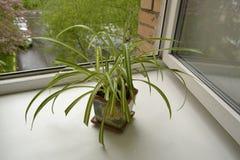Chlorophytum Stock Afbeelding