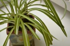 Chlorophytum Images libres de droits