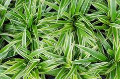 Chlorophytum bichetii (Karrer) Backer. Stock Photography