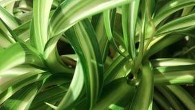 Chlorophytum, bloem, huisbloemen, groene houseplant stock foto's