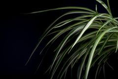 Chlorophytum with brightly rich green leaves on a dark background. Long leaves with a white stripe.  stock images