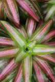 Chlorophytum Chrolotte. Petal plant tree tropical Chlorophytum Chrolotte green water leaf rain Royalty Free Stock Photo