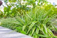 Chlorophytum comosum或吊兰在庭院里 免版税库存图片