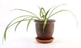 Chlorophytum comosum Arkivfoto