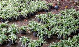 Chlorophytum Comosum Lizenzfreies Stockfoto