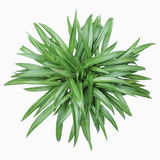 Chlorophytum comosum Stock Images