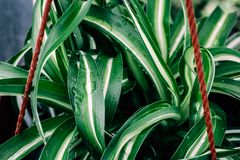 Chlorophytum comosum green leaves in flowerpot, macro photo, ornamental plant, nature spring background Royalty Free Stock Photo