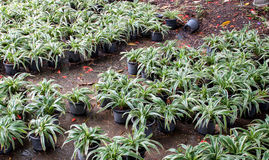 Chlorophytum Comosum Royalty Free Stock Photo