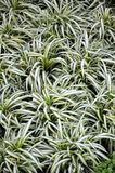 Chlorophytum comosum or spider plant Royalty Free Stock Photo
