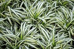 Chlorophytum comosum or spider plant Stock Photography