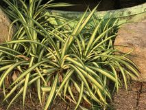 Chlorophytum comosum or Spider plant or Ribbon plant. Stock Photography