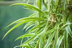 Chlorophytum comosum variegatum 免版税图库摄影