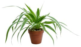 Chlorophytum comosum variegatum Stock Photo