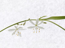 Chlorophytum flowers on the stem. On the background paper. The flowered Chlorophytum on white Royalty Free Stock Photography