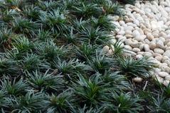 Chlorophytum i bielu kamień na ogródzie Obrazy Royalty Free