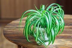 Chlorophytum i den vita blomkrukan på träbakgrund Dekorativa växter i krukan /Variegatum, comosum Spindelväxt Fotografering för Bildbyråer