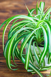 Chlorophytum i den vita blomkrukan på träbakgrund Dekorativa växter i krukan /Variegatum, comosum Spindelväxt Arkivbild