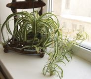 Chlorophytum (pianta di ragno) fotografia stock