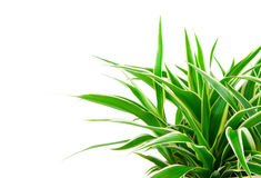 Chlorophytum plant. Chlorophytum - evergreen perennial flowering plants in the family Asparagaceae. used and grown as a medicinal plant Royalty Free Stock Image