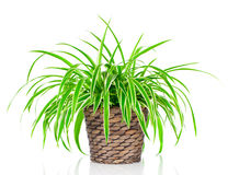 Chlorophytum plant. Chlorophytum isolated on white background Royalty Free Stock Photography