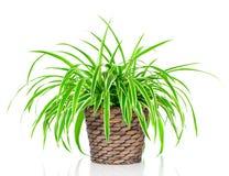 Chlorophytum plant Royalty Free Stock Photography