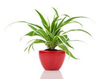 Chlorophytum plant Stock Photo