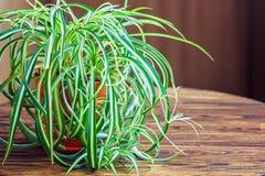 在白色花盆的Chlorophytum在木背景 罐的/Variegatum, comosum园林植物 吊兰 免版税库存照片
