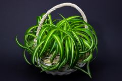 Chlorophytum in a white basket of flowers in flowerpots on a dark background royalty free stock image