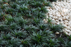 Chlorophytum and White stone on Garden Royalty Free Stock Images