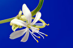 chlorophytumcloseblomma upp Royaltyfria Bilder