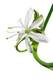 chlorophytumcloseblomma upp fotografering för bildbyråer