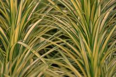 Chlorophytuminstallatie Stock Foto's