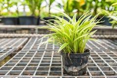 Chlorophytums-comosum (Grünlilien) in einem Topf für Verkauf Stockfotos