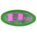 chloroplast Foto de Stock Royalty Free