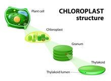 Chloroplaststruktur stock illustrationer