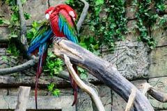 Chloroptera Ara κόκκινος-και-πρασίνου macaw, δύο παπαγάλοι που κοιμάται στο α Στοκ Εικόνες