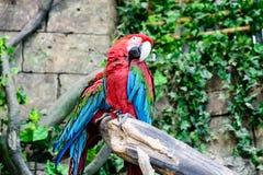 Chloroptera Ara κόκκινος-και-πρασίνου macaw, δύο παπαγάλοι σε έναν κλάδο, Στοκ Φωτογραφία