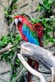 Chloroptera Ara κόκκινος-και-πρασίνου macaw, δύο παπαγάλοι σε έναν κλάδο, Στοκ φωτογραφία με δικαίωμα ελεύθερης χρήσης